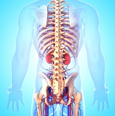 The Musculoskeletal System Never Acts As An Isolated System
